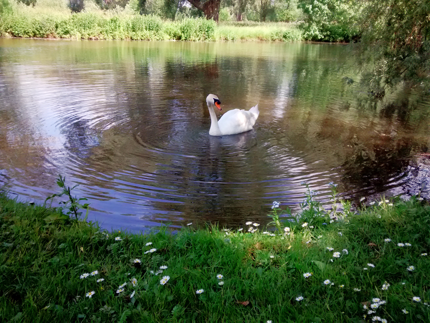 Swan on the Cherwell